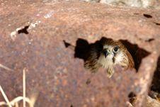 Free Hawk Hiding Stock Photography - 1656892