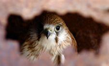 Free Hawk Hiding Royalty Free Stock Photos - 1656898
