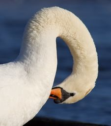 Free Swan Neck Royalty Free Stock Image - 1657416