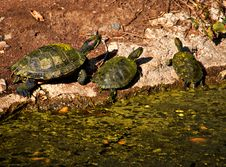 Free Turtles Royalty Free Stock Images - 1658669