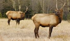 Elk (male) With Second Elk As A Background Royalty Free Stock Photo