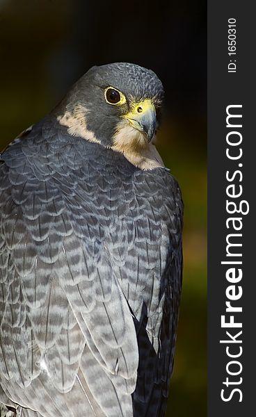 Peregrine Falcon (Falco peregrinus) Looks Over Back
