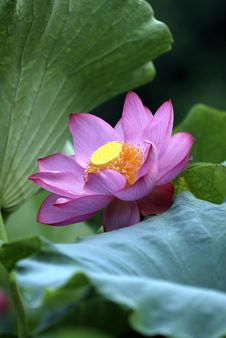 Free Lotus Flower - Pure Stock Photo - 16500150