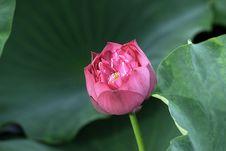 Free Lotus Flower - Pure Royalty Free Stock Photos - 16500328