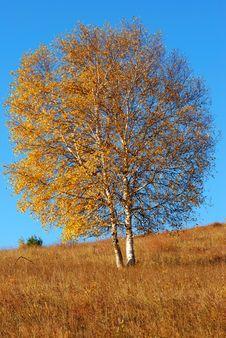 Free Birch Royalty Free Stock Photo - 16500925