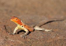 Lava Lizard Stock Images