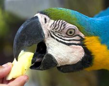 Free Feeding Ara Parrot Royalty Free Stock Images - 16501299