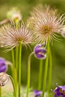 Free Downy Flowers Across The Green Royalty Free Stock Photography - 16503977
