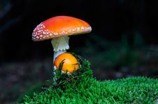 Free Fly Agaric Mushroom Among The Moss Royalty Free Stock Image - 16504036