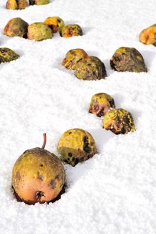 Free Pears Falling In The Snow Stock Photo - 16504270