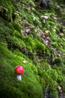 Free Small Ref Toadstool Royalty Free Stock Photography - 16504857