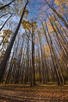 Tall Trees Stock Photos