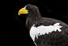 Free Stellars Sea Eagle Stock Photography - 16506082