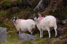 Free Sheep On Hill Royalty Free Stock Image - 16506236