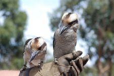 Free Blue Winged Kookaburra Stock Photo - 16508120