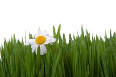 Free Chamomile And Green Grass Royalty Free Stock Photo - 16508625
