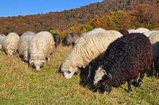 Sheep On A Hillside. Royalty Free Stock Image