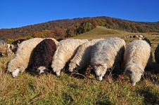 Free Sheeps On A Hillside. Royalty Free Stock Photos - 16508768