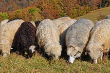 Free Sheeps On A Hillside. Royalty Free Stock Photos - 16508778