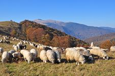 Free Sheeps On A Hillside. Royalty Free Stock Image - 16508886