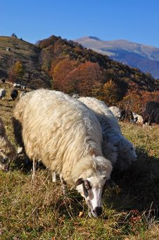 Free Sheeps On A Hillside. Stock Photography - 16508892