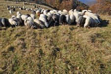 Free Sheeps On A Hillside. Royalty Free Stock Image - 16508916