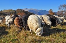 Free Sheeps On A Hillside. Royalty Free Stock Photos - 16508968