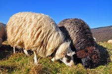 Free Sheeps On A Hillside. Stock Images - 16509014