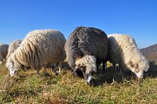 Free Sheeps On A Hillside. Stock Images - 16509024