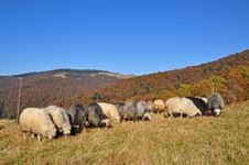 Free Sheeps On A Hillside. Stock Photos - 16509113