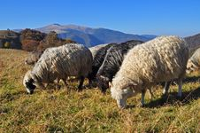Free Sheeps On A Hillside. Royalty Free Stock Photo - 16509145