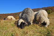 Free Sheeps On A Hillside. Royalty Free Stock Image - 16509216