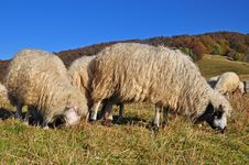 Free Sheeps On A Hillside. Stock Photography - 16509232
