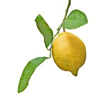 Free Lemon On Branch Royalty Free Stock Images - 16509409