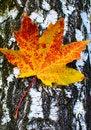 Free Golden-yellow Maple Leaf On Bark Of Birch Tree . Stock Photos - 16511283
