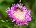 Free Honeybee On A Thistle Royalty Free Stock Image - 16516056