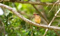 Free Close-up Of A Brown-hooded Kingfisher Royalty Free Stock Image - 16519656