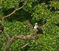 Free African Fish Eagle On Ambush Stock Image - 16519711