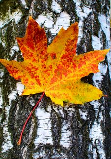 Free Golden-yellow Maple Leaf On Bark Of Birch Tree . Stock Photos - 16511283