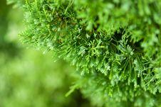 Free Pine Stock Image - 16511831