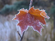 Free Maple Leaf Covered With Morning Frost Royalty Free Stock Photos - 16512068