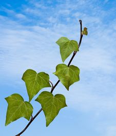 Free Ivy On Sky Background Stock Photo - 16513220