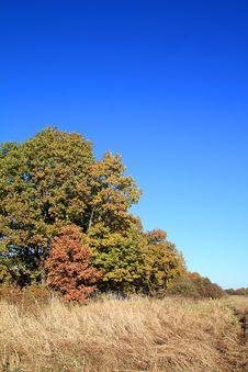 Free Yellow Oak Royalty Free Stock Image - 16513726