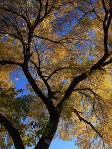 Free Autumn Tree Royalty Free Stock Images - 16513769