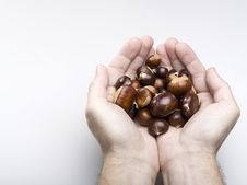 Free Hand Holding Chestnuts Royalty Free Stock Image - 16513986