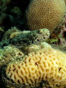 Free Lizardfish Royalty Free Stock Image - 16514336