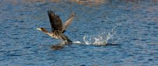 Free Double-crested Cormorant Royalty Free Stock Photography - 16514567