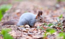 Free Curious Squirrel Royalty Free Stock Image - 16516006
