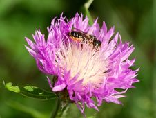 Honeybee On A Thistle Royalty Free Stock Image