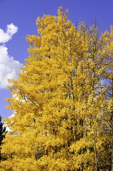 Free Yellow Aspen Leaves Royalty Free Stock Images - 16516749